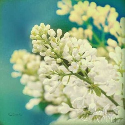 Natures Lilac Blossom Poster
