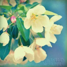 Natures Apple Blossom Poster